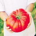 100 Pcs Giant Big Tomato Bonsai Extra Large Extra Tasty Tomato Organic Food Bonsai Vegetables Easy Growing Bonsai Pot Plant