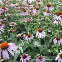 flower plant Echinacea plant germination rate genuine security 200g / Pack