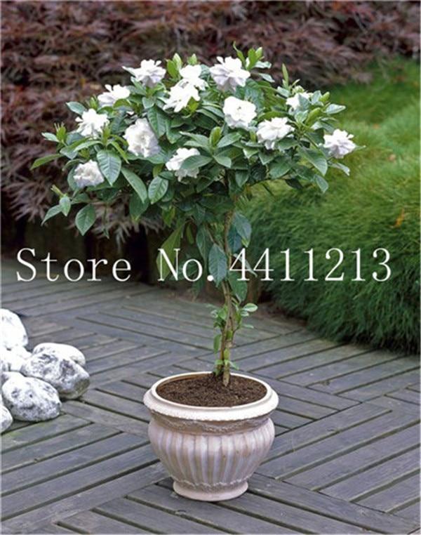 30 PCS Seeds White Arabian Jasmine Flowers Plants Bonsai Potted Garden