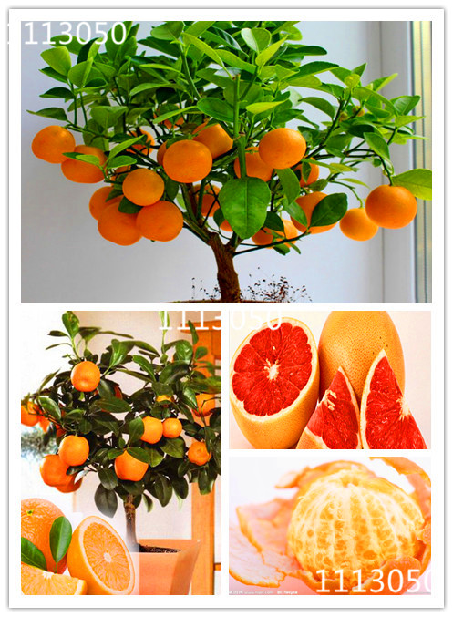 100pcs Edible Fruit Mandarin Bonsai Tree Seeds, Citrus seed Bonsai Mandarin Orange Seeds