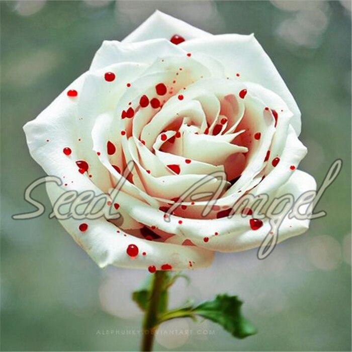 True Blood Rare Black Rose Seeds Rare Amazingly Beautiful Black