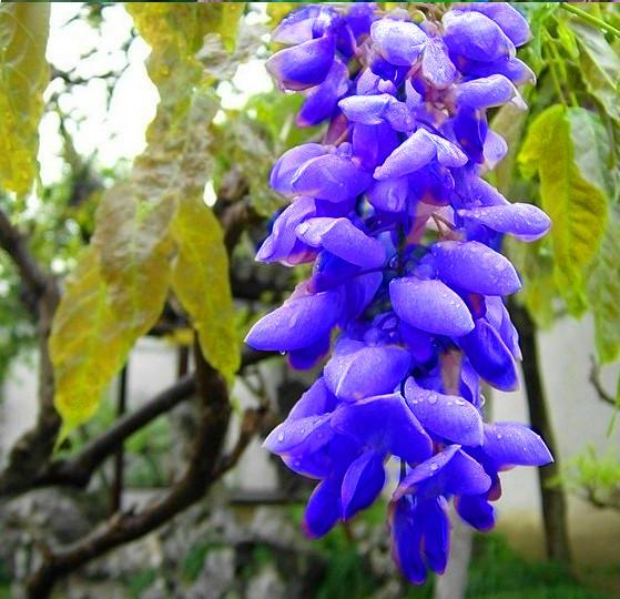 BLUE Wisteria Tree Seeds Indoor Ornamental Plants Seeds