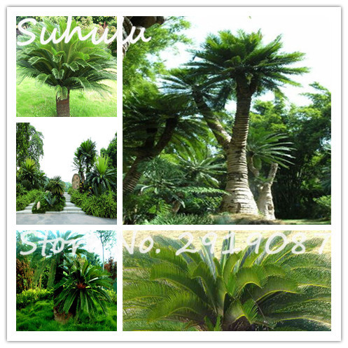 Sale!10PCS Cycas Seeds revoluta seeds Potted Flower Seed for DIY ...