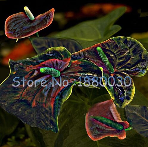Rare Flower Seeds Anthurium Andraeanu Seeds Balcony Potted Flower Seeds DIY Home Garden 120PCS
