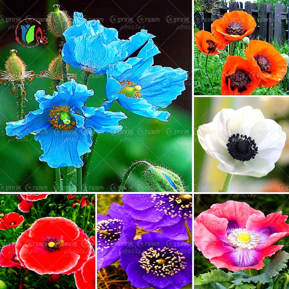 50pcs/bag Coquelicot Flower Seeds light up bonsai flower seeds home garden for planting seeds