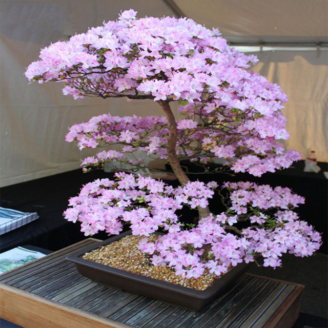 Bonsai seeds 20pcs sakura seeds bonsai flower pink cherry blossom bonsai seeds 20pcs sakura seeds bonsai flower pink cherry blossom pot plant home garden mightylinksfo