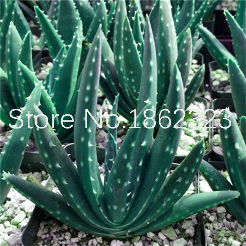 200 Pcs Rare Aloe Vera Plants Edible Beauty Cosmetic
