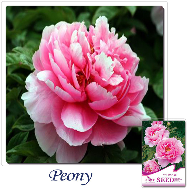 Buy 2 Get 1can Accumulate 1 Pack 6 Seed Fragrant Huge Pink Peony