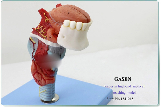 Médica dientes humanos garganta modelo de la lengua de laringe ...