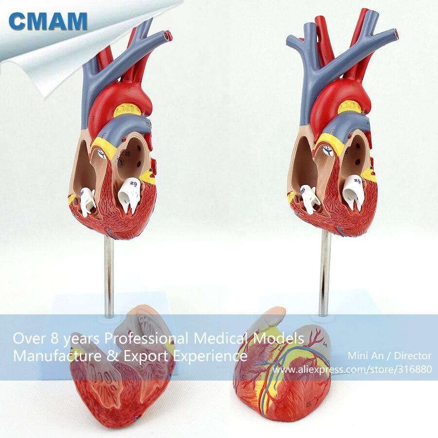 12478 CMAM HEART02 Tamaño Real Modelo de La Anatomía Del Corazón ...