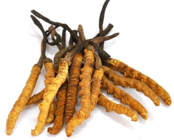 Image result for cordyceps sinensis