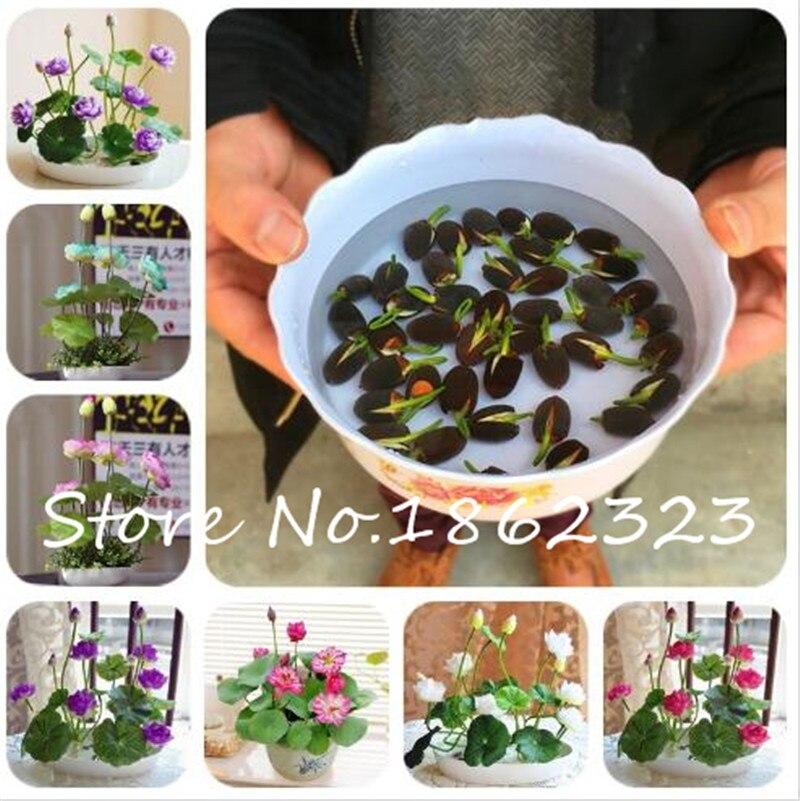 5 Pcs Japan Bowl Lotus Flower Exotic Water Lily Aquatic Hydroponic Plants,Rare Flower Bonsai Plant For Home Garden DIY Plant