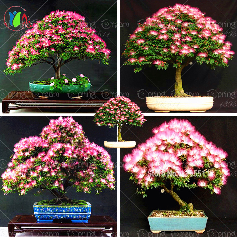 10 pieces bonsai Albizia Flower seeds called Mimosa Silk Tree , seeds for flower potted plants free shipping ornamental-plant