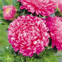 50 pcs/bag China aster Seeds Ornamental Foliage Plant bonsai flower seeds colourful Natural growth for home garden courtyard