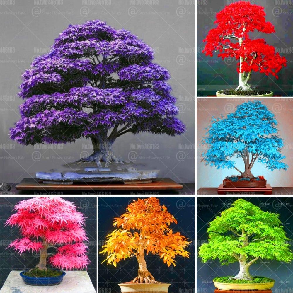 20pcs Mixed Colors Japanese Maple Tree Bonsai Indoor Purple Maple