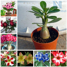 NuoNuoWell Mix Color Desert Rose Artificial Adenium Obesum Flower Red Purple Pink Yellow Garden Home Decor