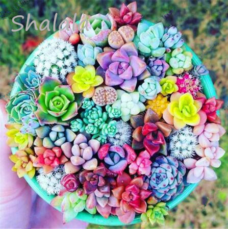 5000 Rare Mix Lithops Flores Living Stones Succulent Cactus Organic Garden Bulk Plante,bonsai Plantas For Indoor Succulent Plant(China)