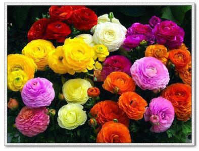 25pcs/bag Ranunculus asiaticus Flower Seeds Persian Buttercup Seed POT FLOWER PLANT GARDEN BONSAI DIY HOME PLANT