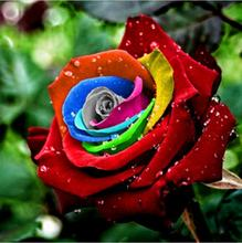 200 unidades Mystic Rainbow Rose Bush Flower Seeds Stratisfied semillas envío gratis