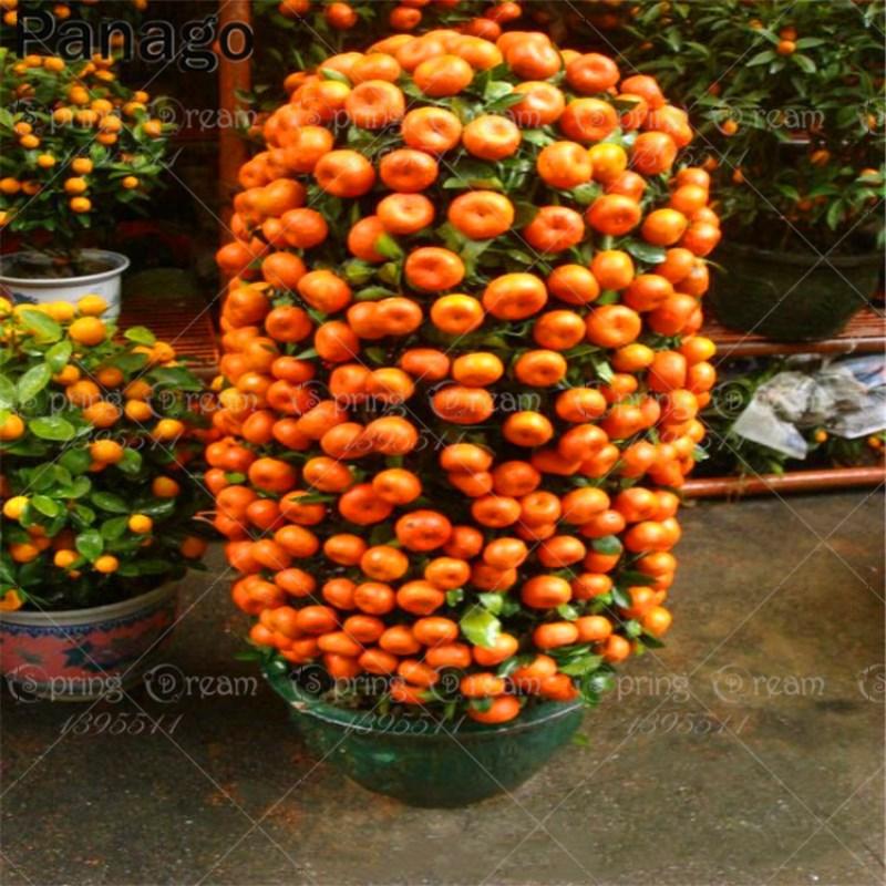 20pcs orange seeds bonsai orange tree seeds perennial fruit potted plants landscape plant diy home garden Sementes de laranja