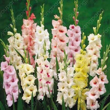 100pcs Multi-Color Gladiolus Flower, 95% Germination, DIY Aerobic Potted, Rare Gladiolus Bonsai Flower plants garden decoration(China)