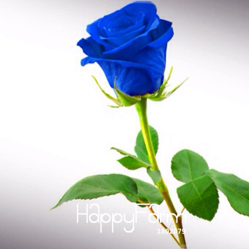 online kaufen gro handel blaue rose aus china blaue rose. Black Bedroom Furniture Sets. Home Design Ideas