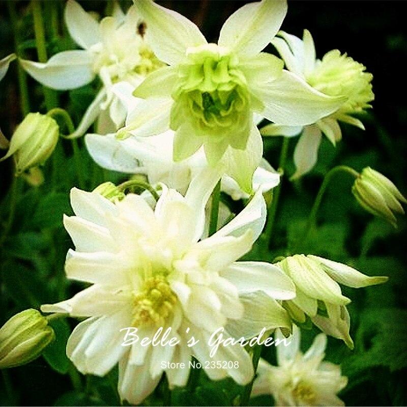 Rare Variety 100pcs Green Columbine Seeds Aquilegia Green Apples Seeds Herb Flower Seeds Bonsai Home Garden Plant DIY
