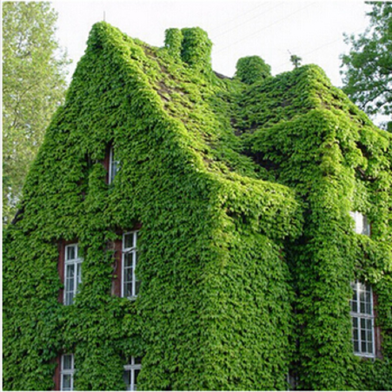 100 Seeds Pack Green Boston Ivy Seeds Ivy Seed For Diy Home Garden Outdoor Plants Seeds Drop