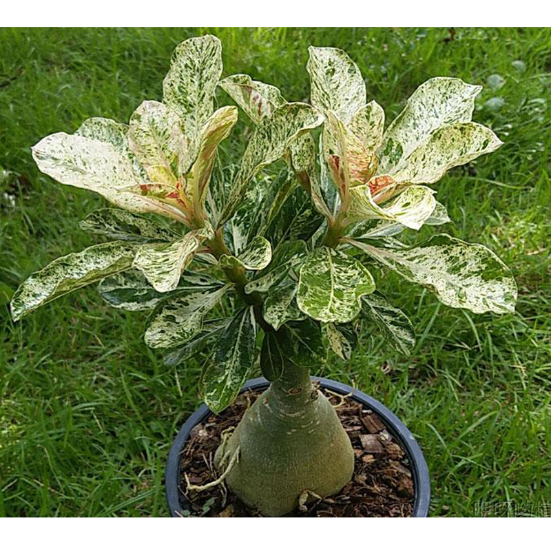 100% True Desert Rose Scarce Grafted Variegated Leaves Petals Home Garden Flowers Adenium Obesum 1 PCS