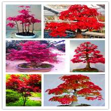 100% True U.S.A Red Maple Tree America bonsai 200pcs seedsplants Very Beautiful Indoor Tree home garden decortion free shipping(China)