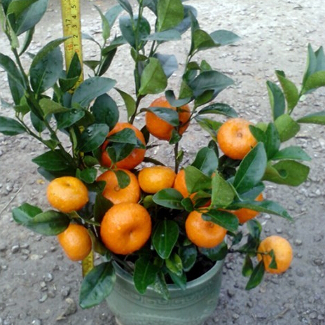 orange seeds subtropical fruit seeds, succulent bonsai tree seeds 50pcs/bag