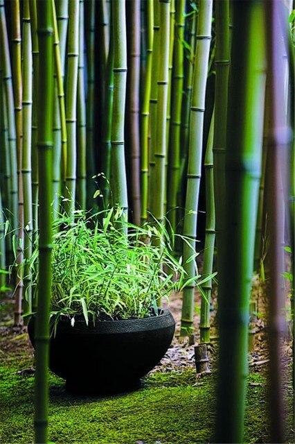 40 pz di Bambù Cinese rare Phyllostachys Pubescens Rare Gigante di Bambù bonsai