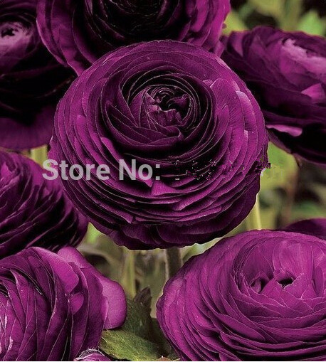 HOT 200PCS Ranunculus asiaticus Flower Seeds For Home & Garden DIY Plants Persian Buttercup Seed Flower Bulbs Free Shipping
