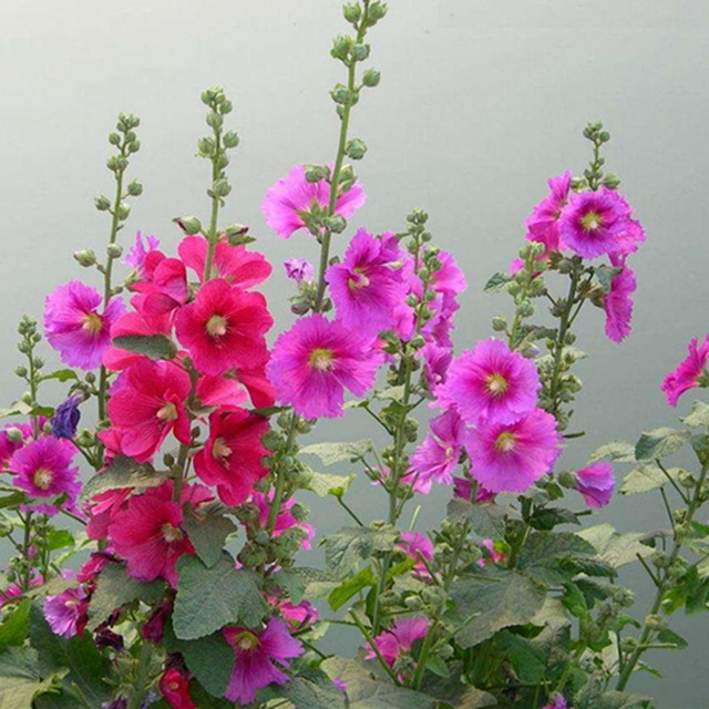 Hollyhock Colors: Marseed Hot Sale 20 Pcs Mixed Colors Romantic Rhodiola
