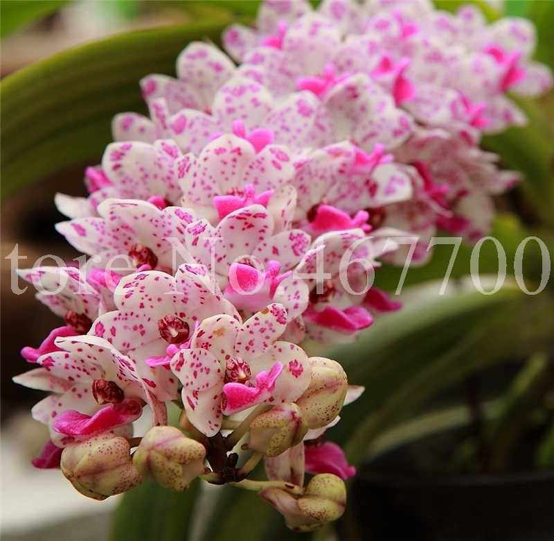100 pçs/saco Floribundum Bonsai Cymbidium Orquídea Planta Crescimento Natural Ao Ar Livre Planta Em Vaso de Flor Para Casa Jardim Flor Pot