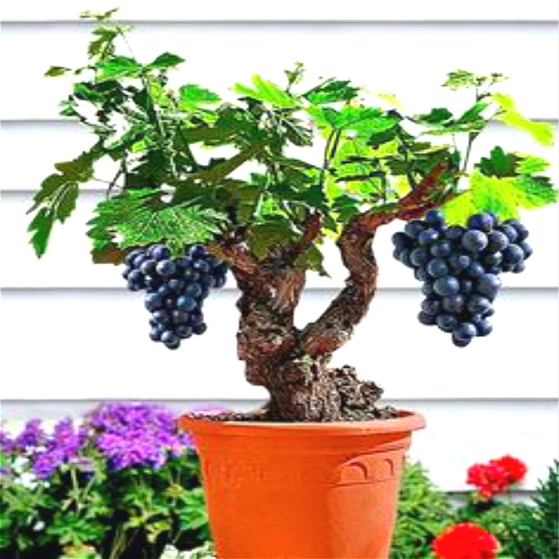 compare prices on fruit trees dwarf online shopping/buy low price, Natural flower