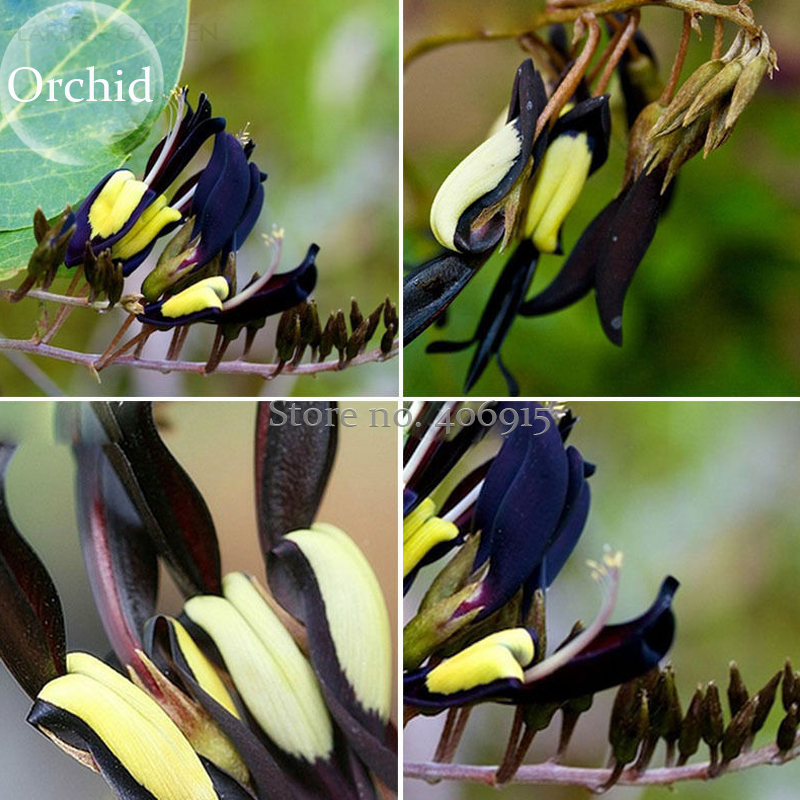 Dracula Vira Flower Hybrid Paphiopedilum These Almost Black Orchids