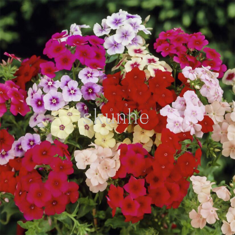 Phlox bonsais офис зеленый балкон школа сообщество сад клумба сад пейзаж с цветком 10 шт. (фу лу Као)