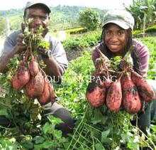Sweet Potato Seeds 20Pcs