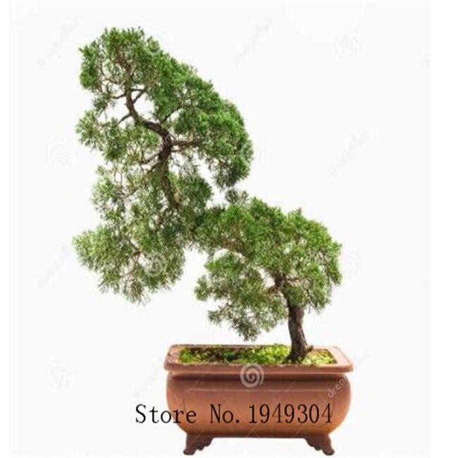 Genuine 50 Pcs Juniper bonsai tree potted flowers office bonsai purify the air absorb harmful gases juniper garden seedsplants in Bonsai from Home Garden
