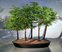 50 Pcs Dawn Redwood Forest Bonsai Seeds – Bonsai Tree – Metasequoia glyptostroboides – Grow Your Own Bonsai Tree
