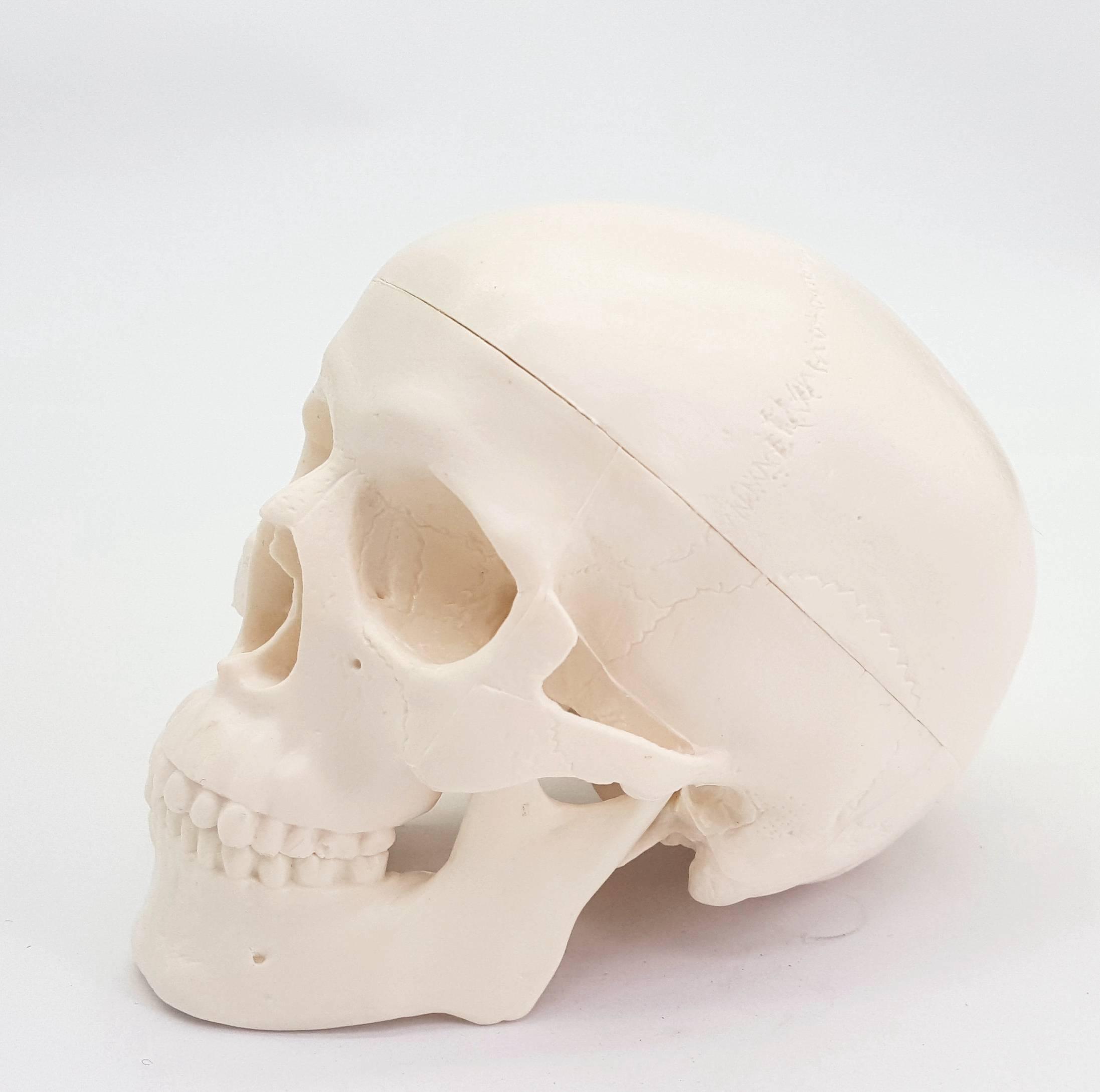 PVC Mini Skull Human Anatomical Anatomy Head Medical Model Convenient 92x99x71mm