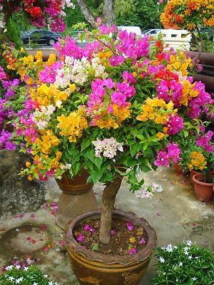 Colorful Bougainvillea Seeds 20 pcs/bag