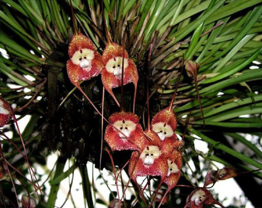One Of The Best Known Ecuadorian Orchids Also Found In Peru Is Ubiquitous Dracula Simia Syn Gigas Monkey Face Orchid Often Included