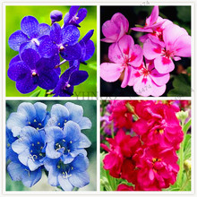 Buy   Matthiola Incana Seed for home and garden  online