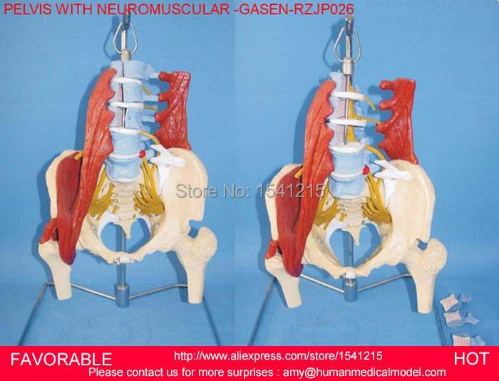 LIFE SIZE PAINTED MUSCLE POINTS VERTEBRAL COLUMN SPINAL MODEL WITH PELVIS,PELVIS WITH NEUROMUSCULAR -GASEN-RZJP026 life size vertebral column spine with pelvis model bix a1009 w051 page 7