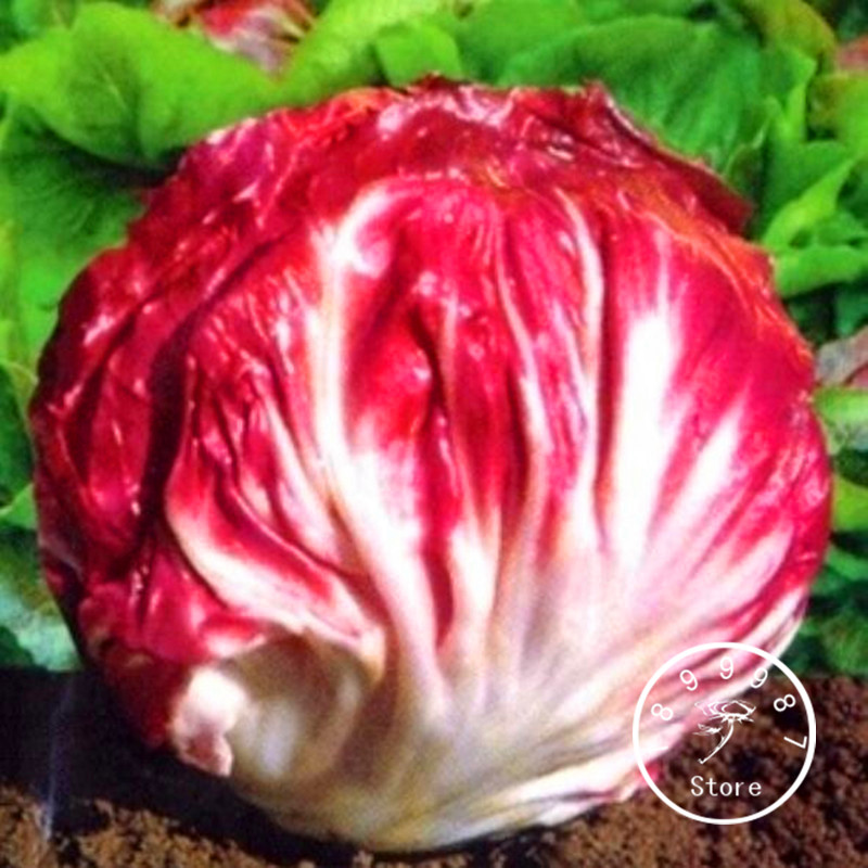 Promotion!100 Pieces/pack Red Cabbage Chicory Bonsai Selling Health Vegetable, Free Shipping,#DY565F