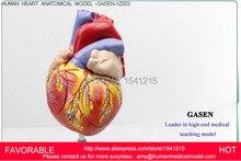 HUMAN ANATOMICAL HEART,HUMAN ANATOMICAL HEART ANATOMY VISCERA MEDICAL ORGAN MODEL EMULATIONAL,HUMAN HEART MODEL-GASEN-XZ003