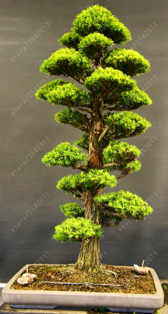 дерево, 50 сын Карли деревья pans