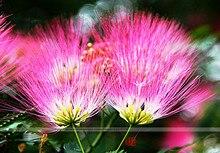 Bonsai Tree Albizia julibrissin seeds.rare flowers seeds in bonsai,30 seeds/pack indoor pink Albizia julibrissin for Home Garden